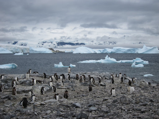 Gentoo Penguins on Cuverville Island.