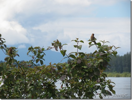 Waxwings by the river