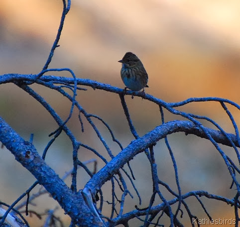 12. Lincoln's sparrow-kab