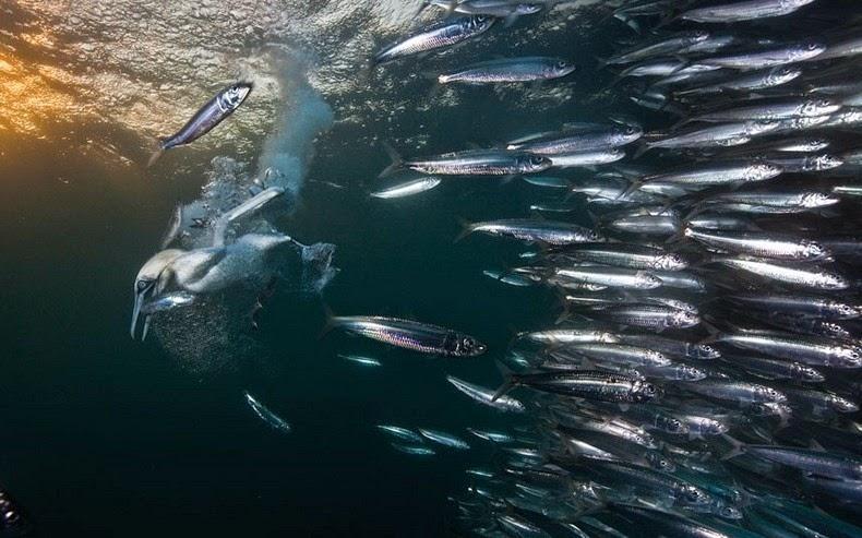 sardines-run-5