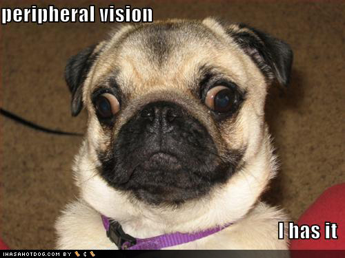 funny dog pictures cross eyed pug jpg funnyz