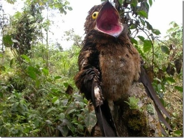 potoo-birds-eyes-4