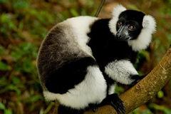 Indri-indri lemur
