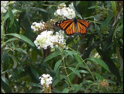 butterfly-bush4