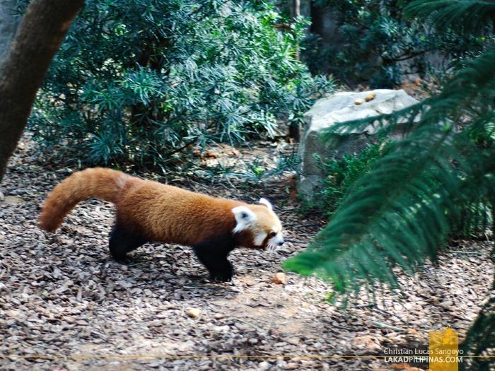 A Red Panda at Singapore's Giant Pandas