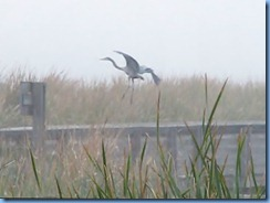 6534 Texas, South Padre Island - Birding and Nature Center - old section of boardwalk - Great Blue Heron in flight