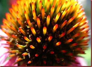 Echinacea-purpura-flower-closeup