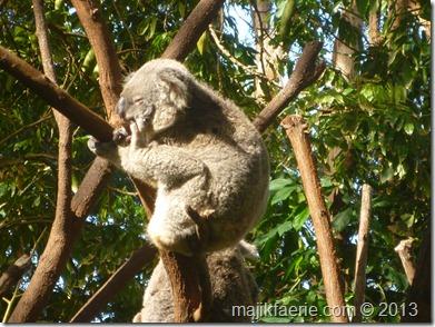 34 koala
