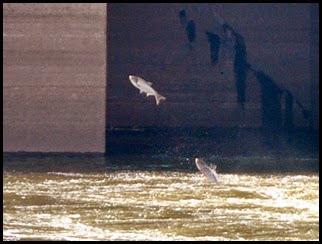 03c - Asian Carp