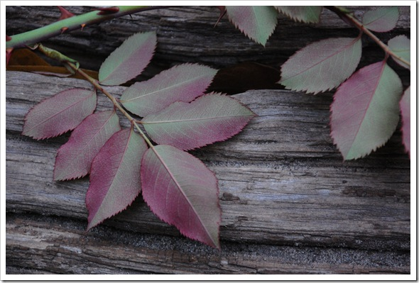 autumn rose leaf (2) 1