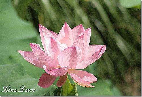 LF_Lotus3