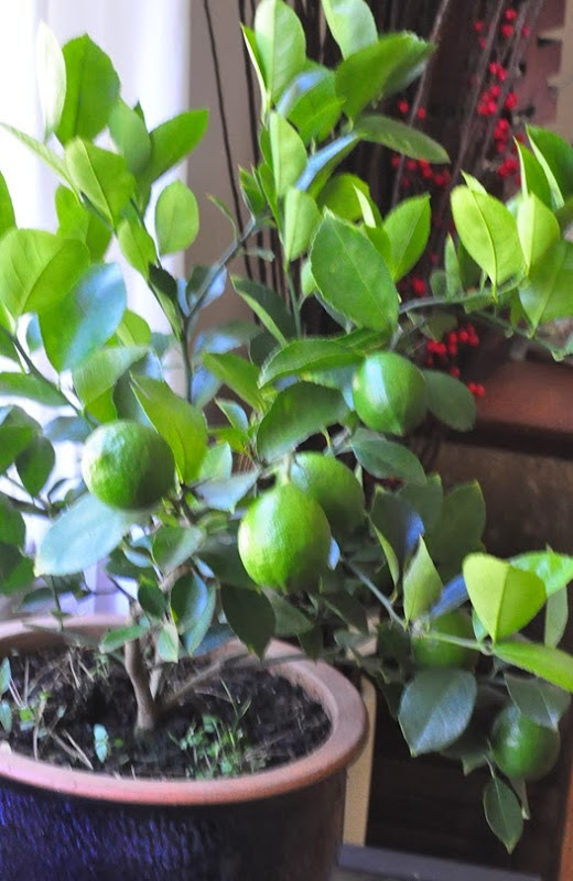 Meyer_lemon_Green