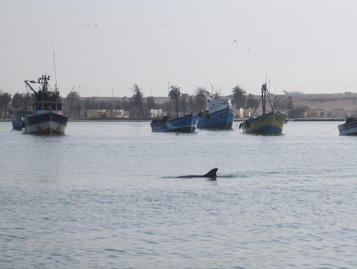 A dolphin following our boat in the port of Paracas
