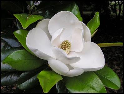 magnolia_flower6