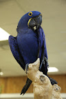 Another type of macaw is the Hyacinth Macaw.  It's the largest macaw and the largest flying parrot.  Sadly, these birds are an endangered species, due the destruction of their habitats and to illegal bird trapping.