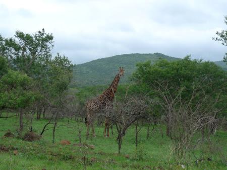 Safari Africa de Sud: girafe