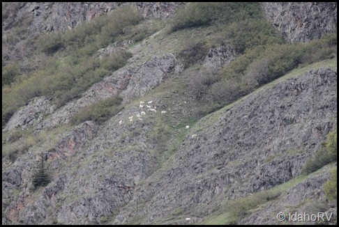 Dall-Sheep-2