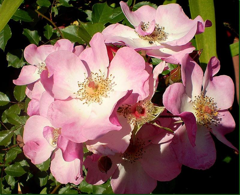 humedad,rosas 016