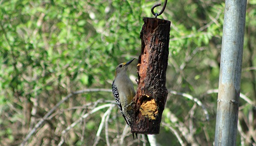 Golden Fronted woodpecker 2013