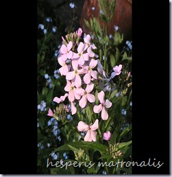 Hesperis-matronalis-copie-1