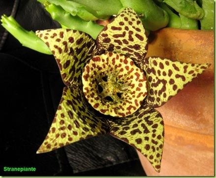 orbea variegata fiore