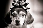 Christmas Beagle-3.jpg
