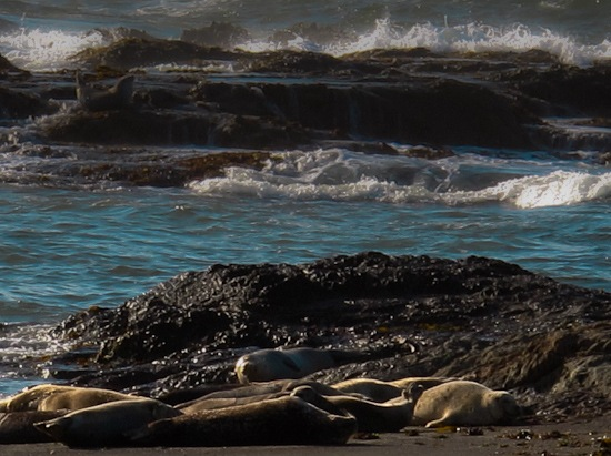 MacKerricher State Park Beach Sea Lions