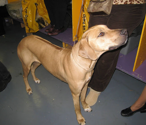 Rhodesian Ridgeback --- check out the ridge of hair running down the center of her back!