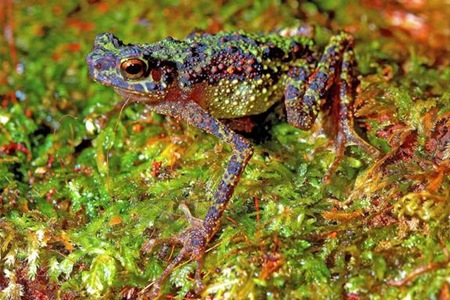 An adult female of the Borneo rainbow toad, spanning just 2 inches (51 mm) in length, hadn't been spotted for 87 years.