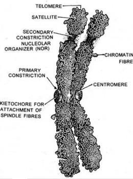 metaphase chromosome