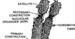 Structure of metaphase chromosome ~ Biology Exams 4 U