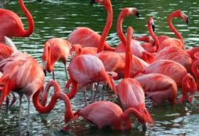 Amazing Pictures of Animals, Photo, Nature, Incredibel, Funny, Zoo, Flamingos or Flamingoes, Phoenicopteridae,  Aves, Bird, Alex (13)