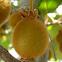 Actinidia deliciosa. Kiwi plant