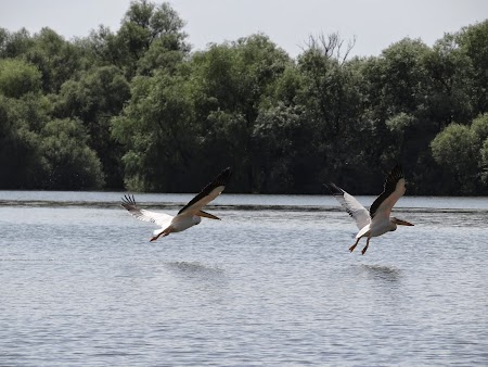 21. Pelicani in tandem in Delta Dunarii.JPG