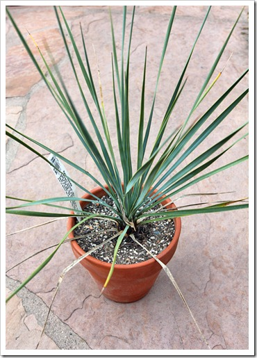 120223_fy_Yucca-rostrata_02