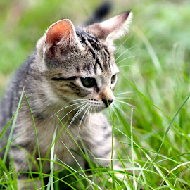 Kitty Kitten by Suzanne Fouasnon - Animals - Cats Kittens ( kitten, playful, intense stare, tabby, stalker )