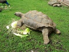 2011.08.07-012 tortue d'Aldabra