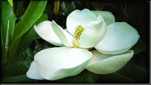 magnoliablossnps3cpaintweb