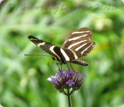 06-02-zebra