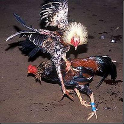 yang dekat dengan ayam ayam dari bangkok thailand ayam bangkok