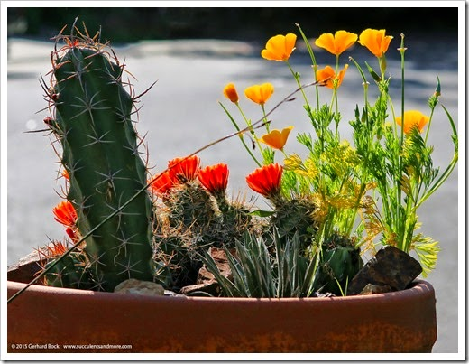 150414_Echinocereus-triglochidiatus_007