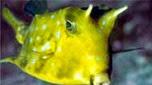Nouvelle-Calédonie poisson vache