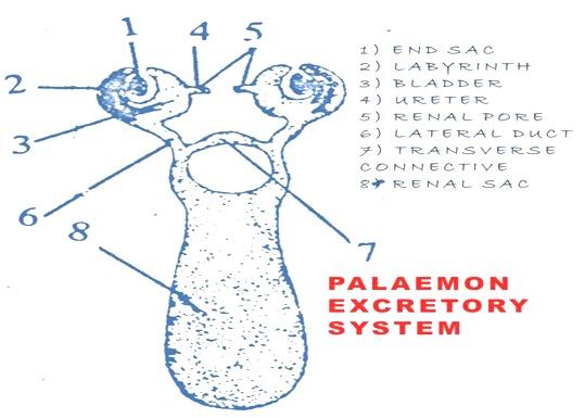 prawn-excretory-system