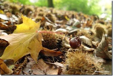 プラタナスの葉と栗の実