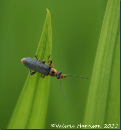 soldier-beetle-Cantharis-nigricans
