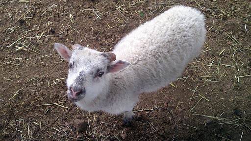 [写真]人懐こい子羊