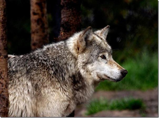 Lobos (3)
