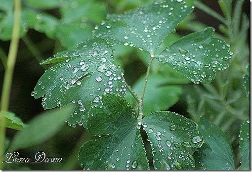 Columbine_Leaves_Rain