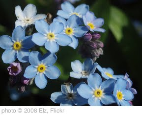 'Forget-me-nots' photo (c) 2008, Elz - license: http://creativecommons.org/licenses/by/2.0/