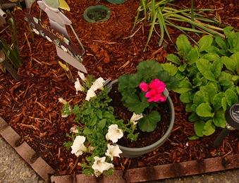 Petunia and geraniums